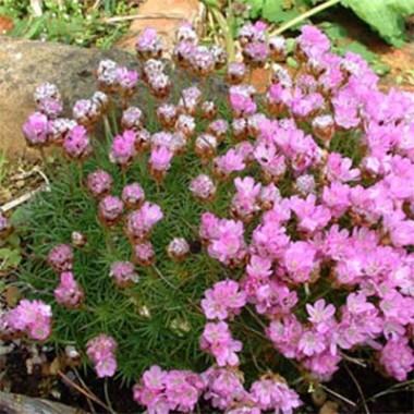 Армерія Juniperifolia фото цена
