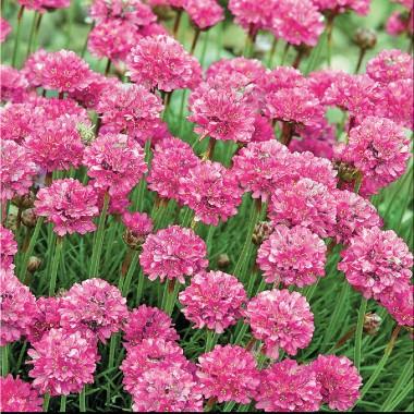 Армерія приморська Рожевий бриз описание