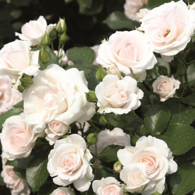 Троянда Aspirin Rose фото