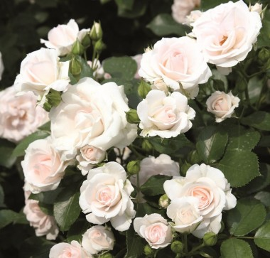Троянда Aspirin Rose почтой