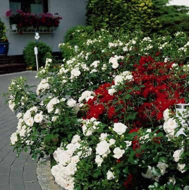 Троянда Aspirin Rose смотреть