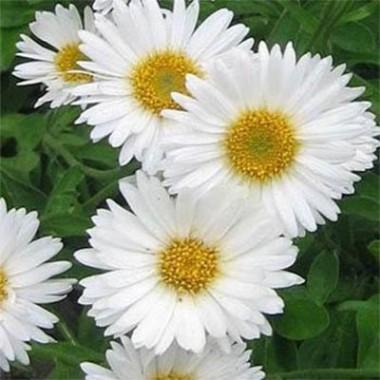 Айстра Alpinus White почтой