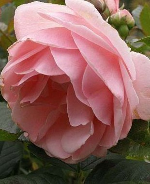 Троянда Astrid Lindgren фото