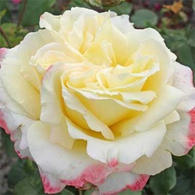 Троянда Athena почтой
