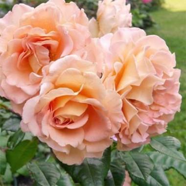 Троянда Augusta Luise купить онлайн