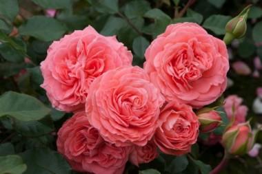 Троянда Schackenborg купить онлайн