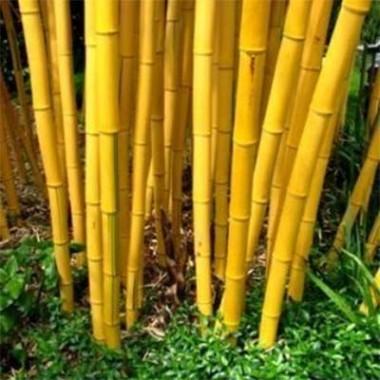 Бамбук Aureocaulis почтой