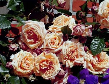 Троянда Barock почтой