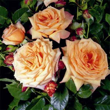 Троянда Barock описание