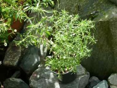 Чабер садовий Саммер Савої фото