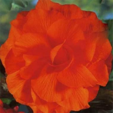 Бегонія махрова оранжева фото цена