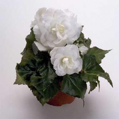 Бегония Multiflora Maxima біла фото цена