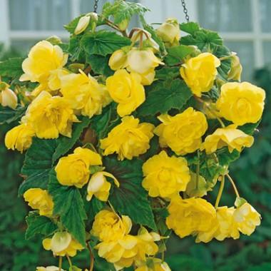 Бегонія Cascade Yellow фото