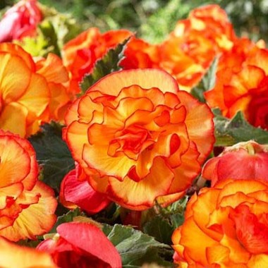 Бегонія Picotee Yellow Red фото