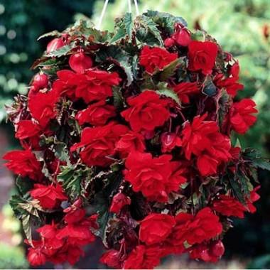 Бегонія Cascade Red купить онлайн