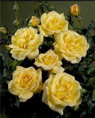 Троянда Bella интернет-магазин