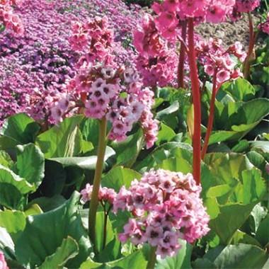 Бергенія  Cordifolia Rose фото цена