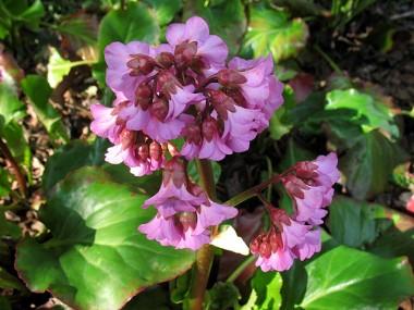 Бергенія  Cordifolia почтой