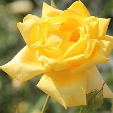 Троянда Berolina описание