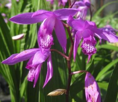 Блетілла Purple почтой
