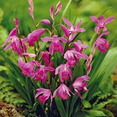 Орхідеї купить