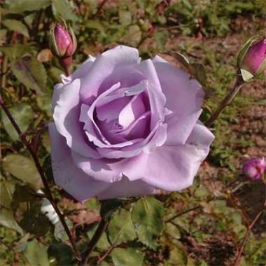 Троянди Декоплант купить