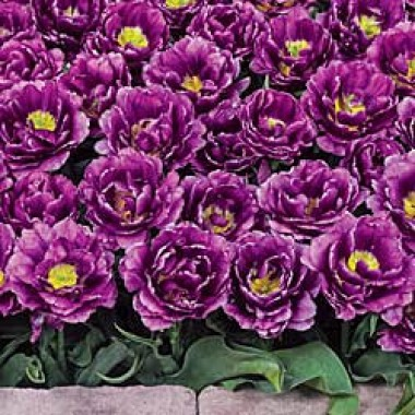 Тюльпан Blue Burst купить онлайн