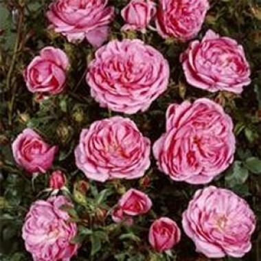 Троянда Blues в киеве