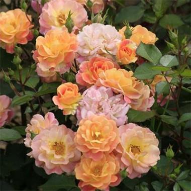 Троянда Bordure Camaieu описание