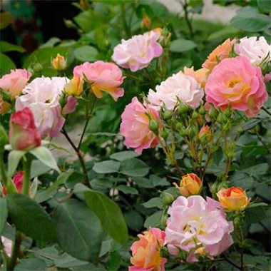 Троянда Bordure Camaieu в киеве