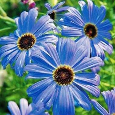 Брахікома блакитна смотреть