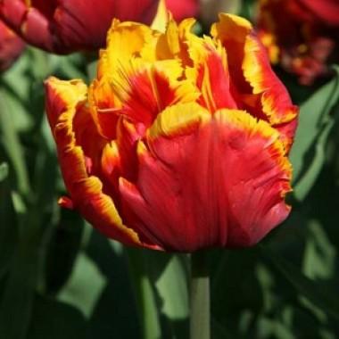 Тюльпан Bright Parrot  в киеве