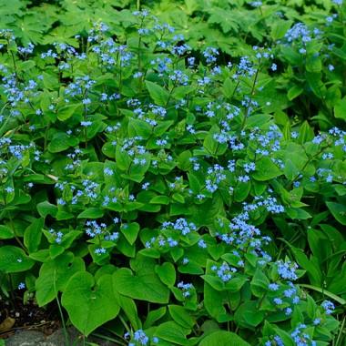 Бруннера Macrophylla фото цена