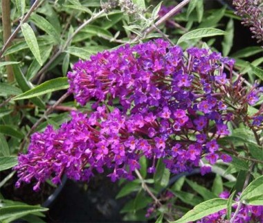 Буддлея Nanho Purple смотреть