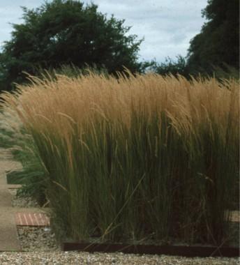 Декоративна трава купить