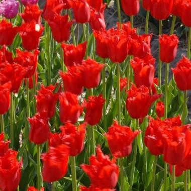 Тюльпан Calibra описание