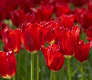Тюльпан Calibra фото