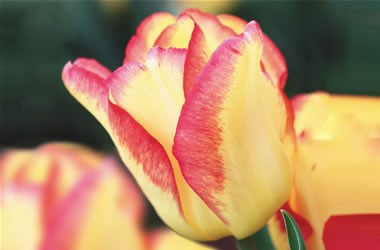 Tulip Cape Town описание