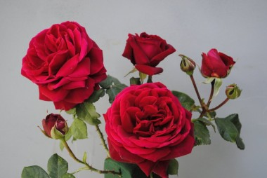Троянда Capricia фото цена