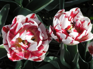 Тюльпан Carnaval de Nice фото