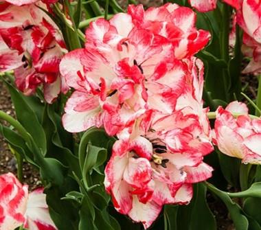 Тюльпан Cartouche почтой