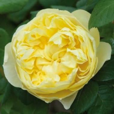 Троянда Charles Darwin фото цена