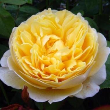 Троянда Charlotte интернет-магазин
