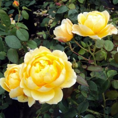 Троянда Charlotte фото