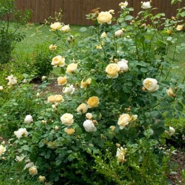 Троянда Charlotte описание