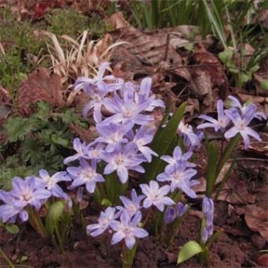 Хіонодокса Violet Beauty в киеве