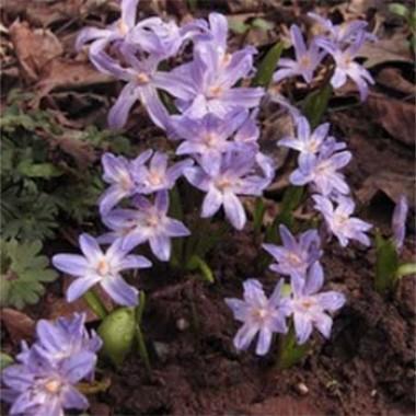 Хіонодокса Violet Beauty интернет-магазин
