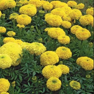 Чорнобривці Купідон, жовті описание