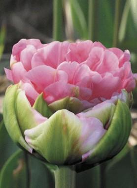 Тюльпан Christo описание