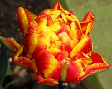 Тюльпан Cilesta смотреть
